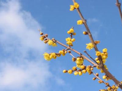 素心蝋梅(ソシンロウバイ)の花