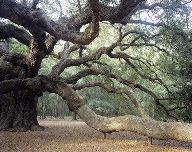 [live+oak]