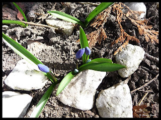 budding Siberian Squill