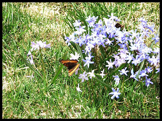 butterfly on Siberian Squill