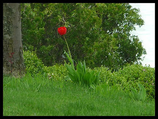 lone tulip in bloom