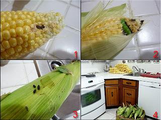 husking corn, corn borers