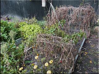 dead tomato vines