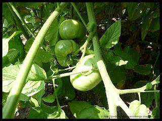 brandywine tomatoes
