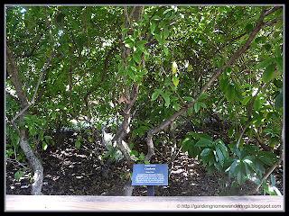 Gardenia (Gardenia august)