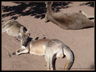 Kangaroos at Busch Gardens, Tampa Florida