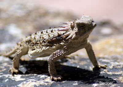Horned Lizard (Kadal Bertanduk)