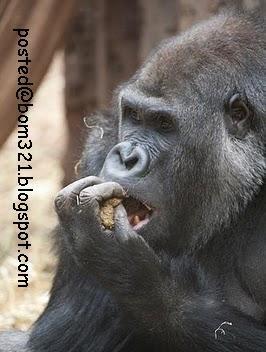 monkey eating his own feces