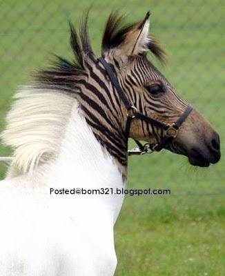 horse combine zebra