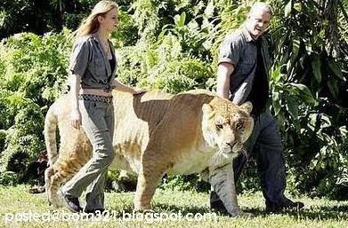 Harimau Terbesar Di Dunia !