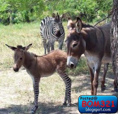 Zebkey Atau DonBra ? (Zebra + Donkey) Apa Sebenar Nama Haiwan ini ?