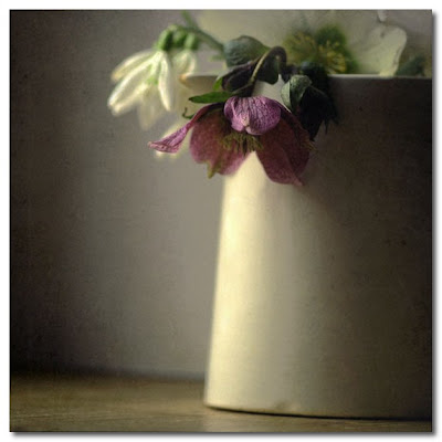 hellebore  by Ofilde