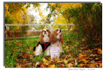 Our Much Loved Cavalier King Charles Spaniels