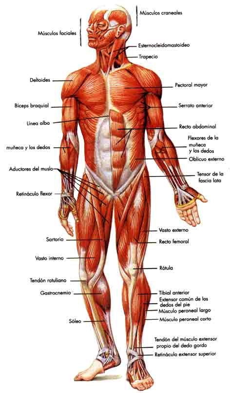 Dorable Diagrama De Músculo De La Ingle Galería - Anatomía de Las ...