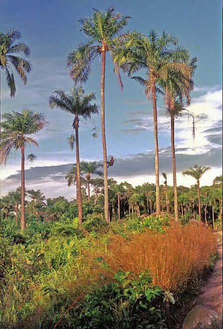 Limba palm wine climber (Mende=mapalma) near Foindu (Nongowa)