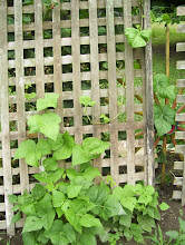 Pole Beans Climbing Up the Trellis