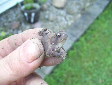 A tiny toad I found while, what else, WEEDING