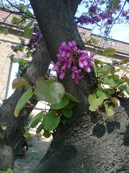 """Cercis siliquastrum """"cercis"""" """"árbol de Judea"""""""