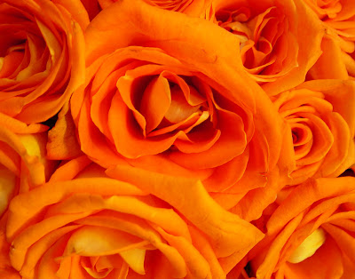 A rose is a rose the meaning of rose colors for The meaning of orange roses