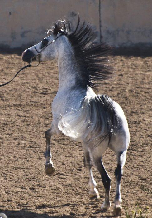 [Gray+Stallion]