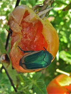 They're Big, Loud and Hungry: The Green Fruit Beetles Are Back