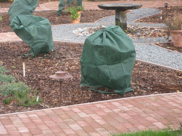 The farmer fred rant more frost protection tips for citrus - Protecting fruit trees in winter ...