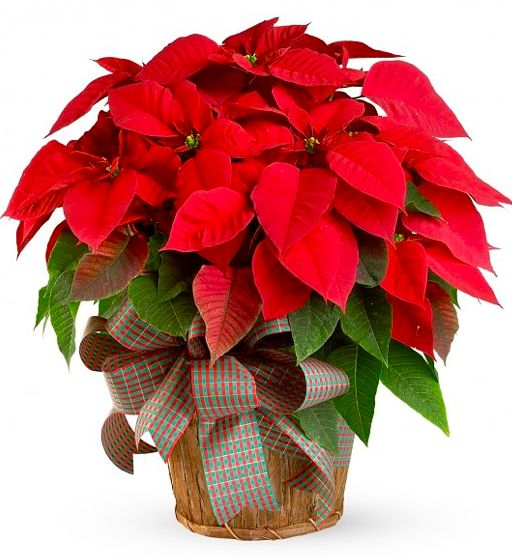 red+poinsettia