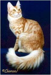 El angora turco es un gato de pequeño a mediano tamaño, de cuerpo largo y esbelto, atlético y musculoso. Las hembras suelen pesar alrededor de los tres