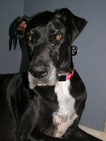 Lola - Great Dane