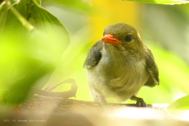 Scarlet-headed Flowerpecker Juvenile 1