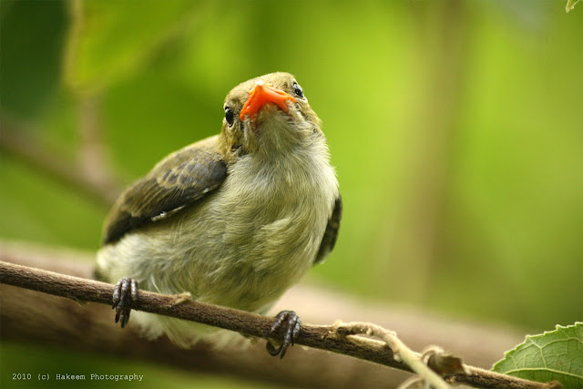 Scarlet-headed Flowerpecker Juvenile 3