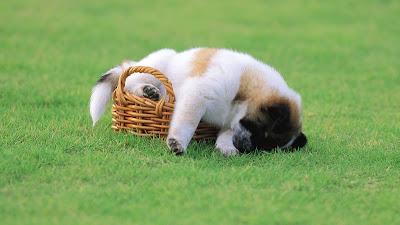 Funny Animal lazy Dog