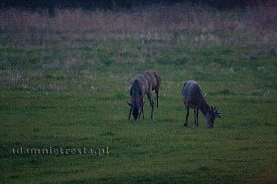 fotografia przyrodnicza - jelenie