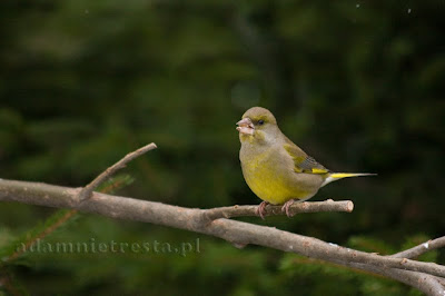 zdjęcia ptaków - dzwoniec