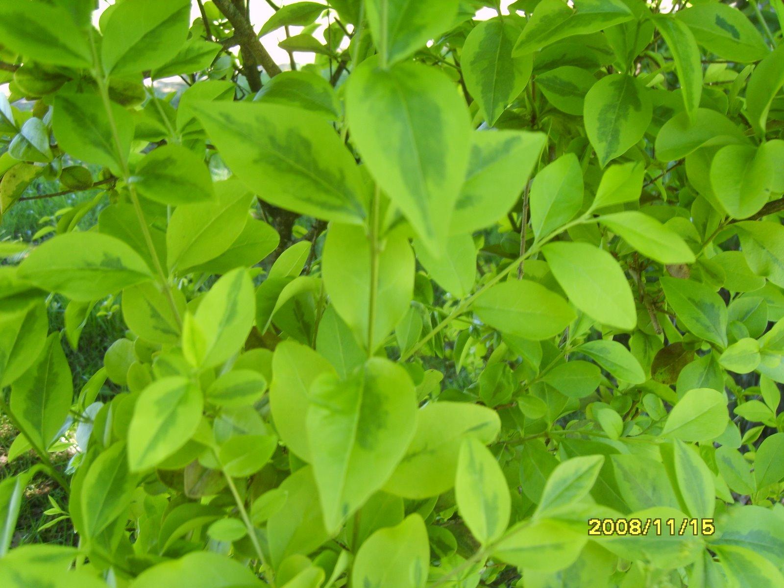 Flores y arbustos ornamentales for Arbustos ornamentales