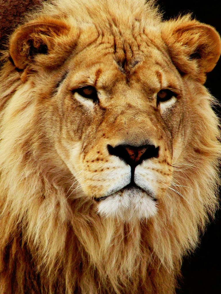 Animal Desktop Wallpapers Lion Desktop And Wallpaper Gallery