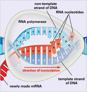 Protein synthesis translation mastering biology