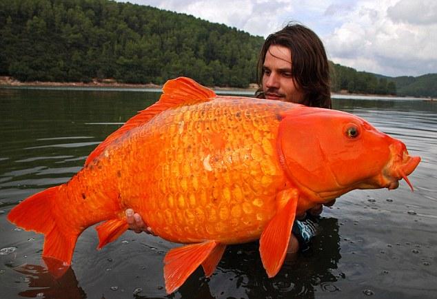 Der gr te goldfisch der welt heulnicht for Koi und goldfische