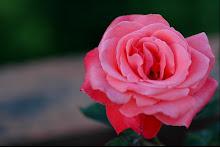 Pense que con una rosa te enamoraria