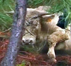 El Toro que luchó por sobrevivir lo consiguió