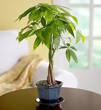 Feng shui las plantas en el feng shui su papel en la for Planta del dinero feng shui