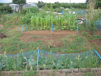 corn on the allotment