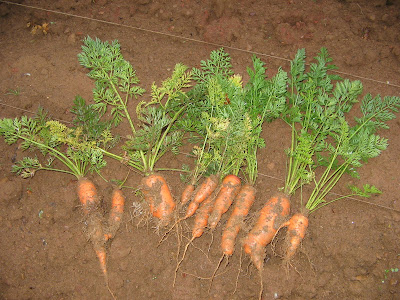 My first carrots.