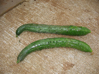 allotment grown cucumbers.