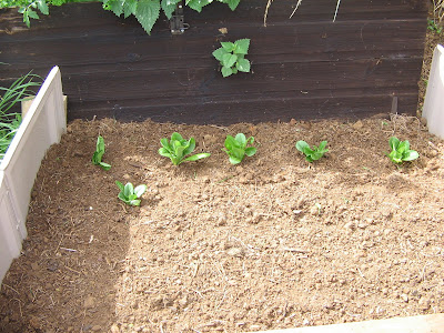 lettuces and newly sown radishes