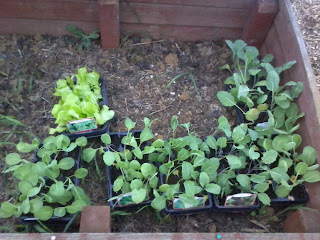 winter veg plug plants