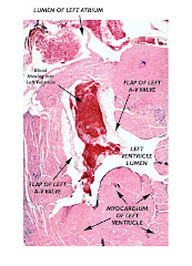 Histology of the Heart