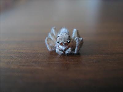 gözlüklü örümcek