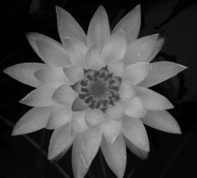 black and white flowers pictures. Labels: lack and white,