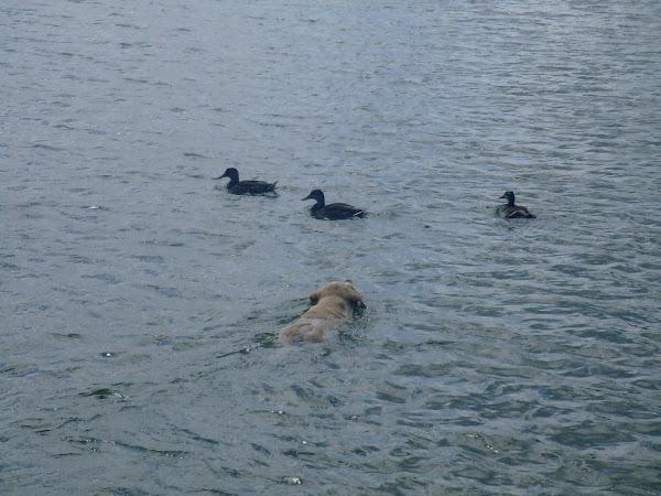 Faire la course avec les canards.